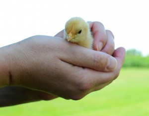 How to Hold a Chick