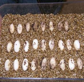 Can I Hatch Reptiles in my Poultry Incubator?