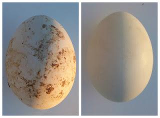 Dirty vs Clean Eggs