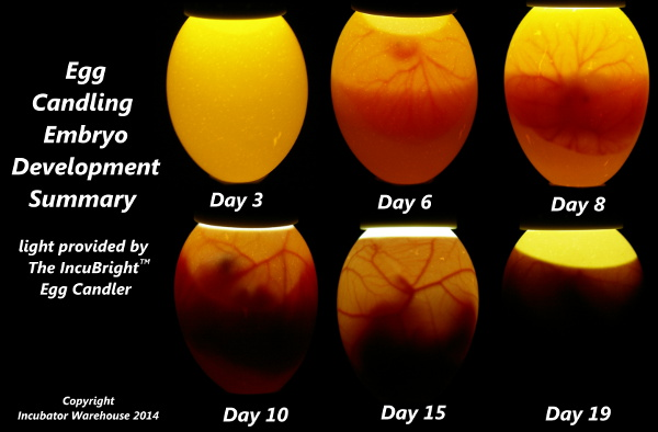 Embryo Development Summary